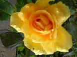 Blume_gelb
